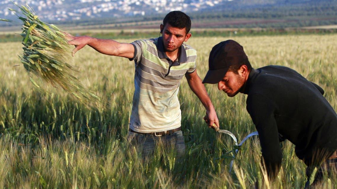Palestinian farmers wheat on a farm near the West Bank city of Jenin, early Thursday, April 24, 2014. (AP)