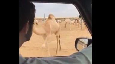 فيديو طريف.. الإبل تنفذ كلام ولي عهد دبي