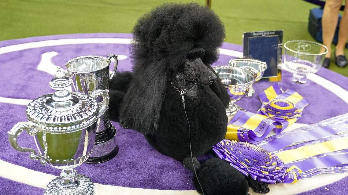 Siba the Standard Poodle poses with trophies and awards at the 2020 Westminster Kennel Club Dog Show at Madison Square Garden in New York City, New York, U.S., February 12, 2020. (Reuters)