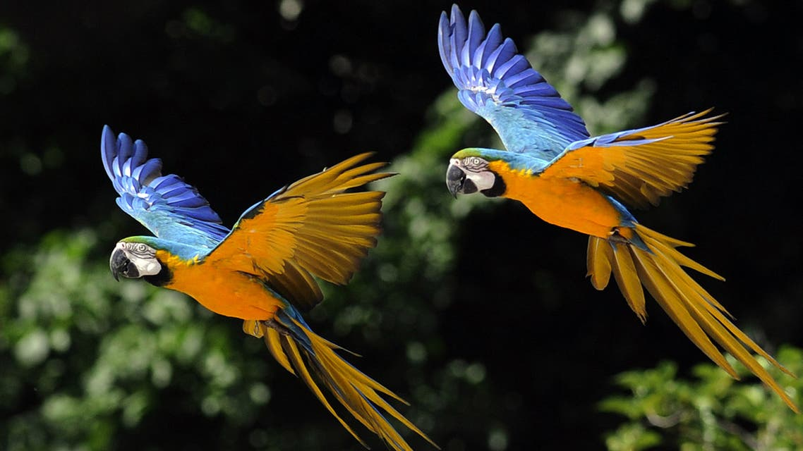 Two parrots fly during an exotic bird show at the Madrid's zoo on June 25, 2010. AFP PHOTO/DOMINIQUE FAGET