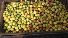 'الکنار' اہالیان احساء کا موسم سرما کا مرغوب پھل