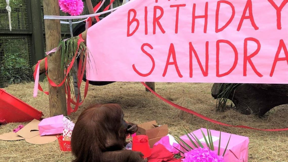 Orangutan Sandra celebrates her 34th birthday on Valentine's Day. (Twitter)