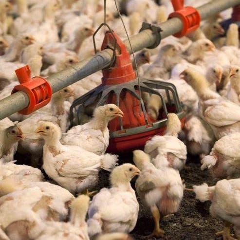 السعودية تستهلك 1.38 مليون طن من الدجاج سنوياً