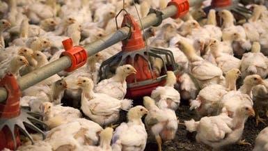 بعد كورونا.. أنفلونزا الطيور يعاود الظهور في العراق