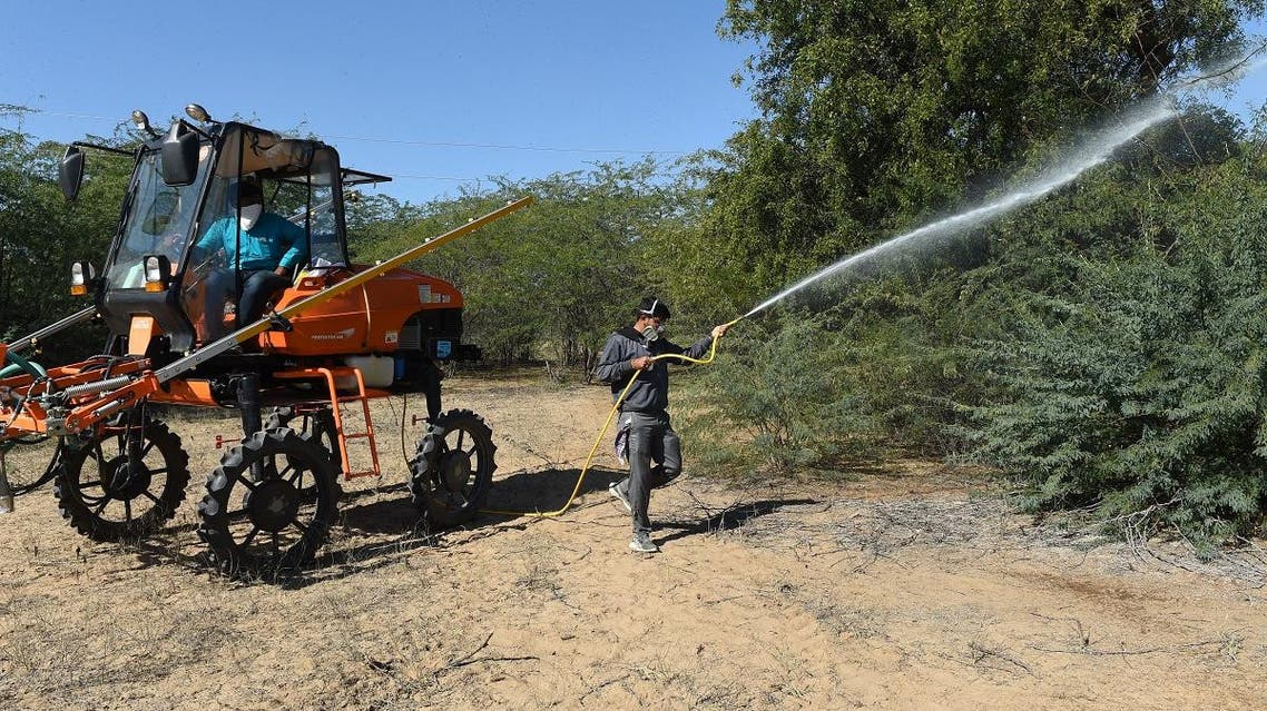 A man sprays insecticides to kill locusts in trees near Miyal village in Banaskantha district some 250km from Ahmedabad on December 27, 2019. (File photo: AFP)