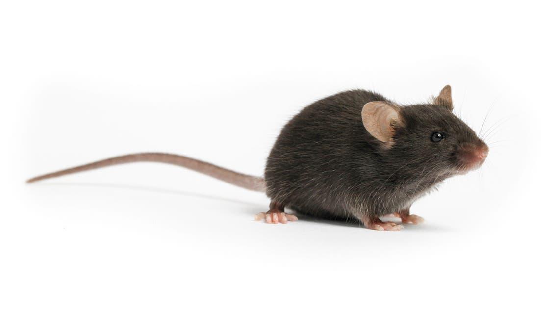 فأر تجارب
