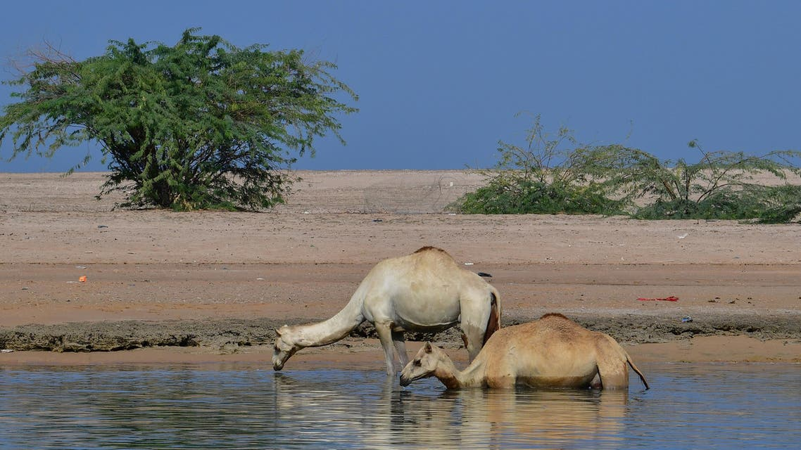 Camels in Ras al Khaimah desert. (AFP)