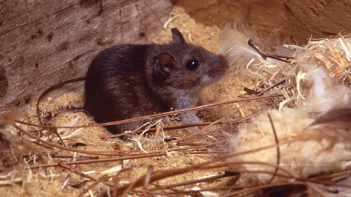 The deer mice are the principal reservoir of Sin Nombre (SN) virus, the primary etiologic agent of hantavirus cardiopulmonary syndrome (HCPS) in North America. (Reuters)