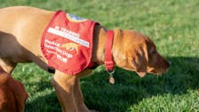 تدريب كلاب في بريطانيا على اكتشاف الإصابات بفيروس كورونا