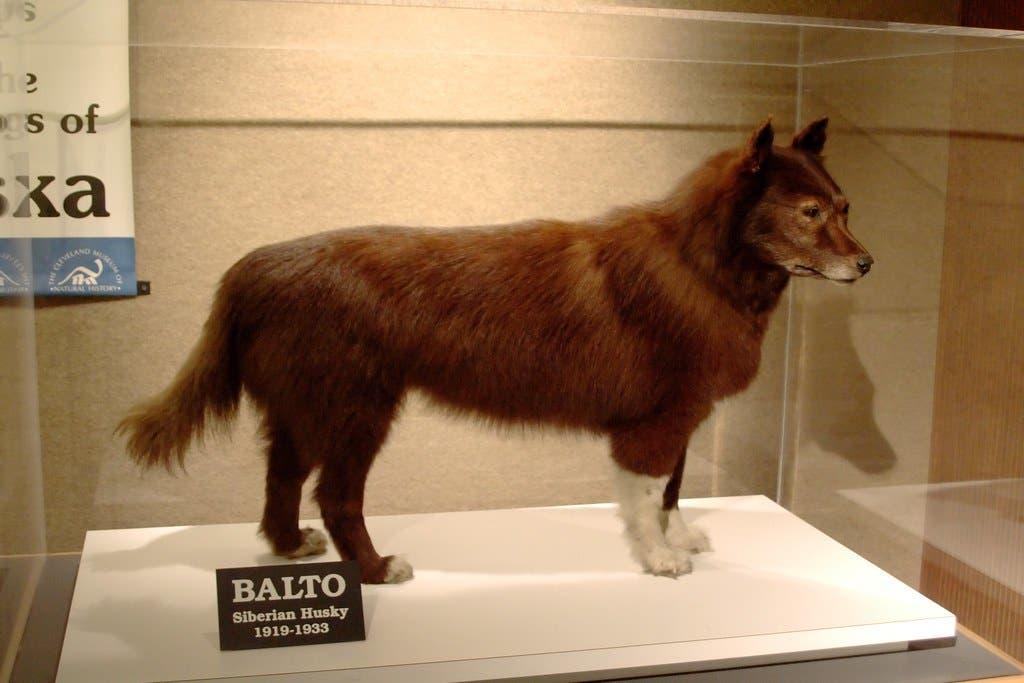 صورة للجثة المحنطة للكلب بالتو والمحفوظة بمتحف التاريخ الطبيعي بكليفلاند
