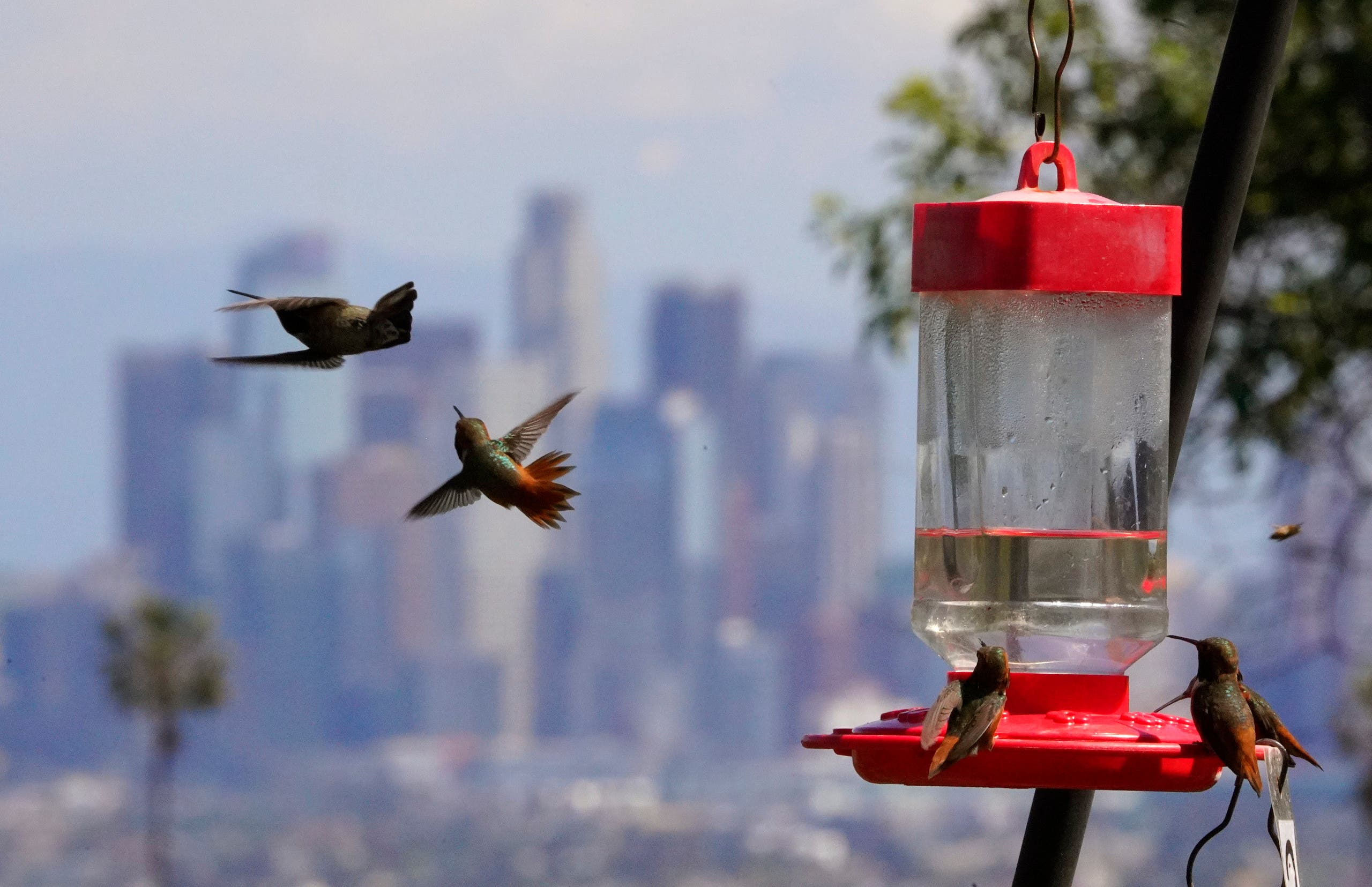 Hummingbirds feed at Kenneth Hahn State Recreation Area as downtown Los Angeles is seen in the background, Friday, March 27, 2020, in Los Angeles. (AP)