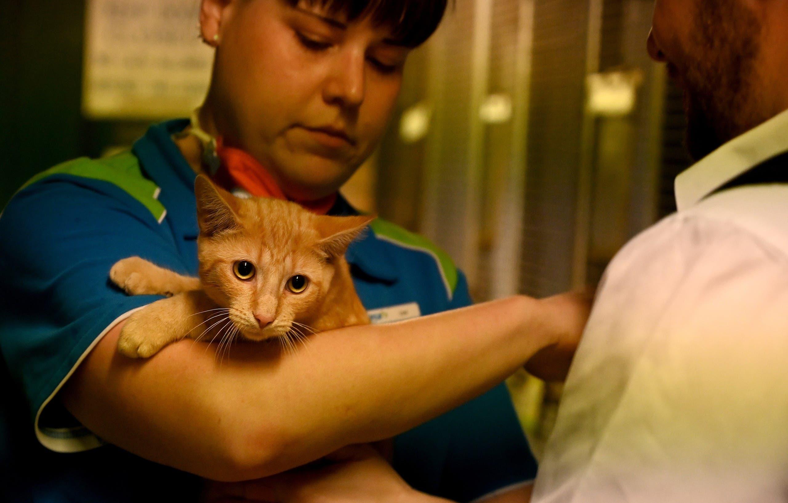 متطوع يحمل قطة في مؤسسة آر. إس. بي. سي. إيه الخيرية