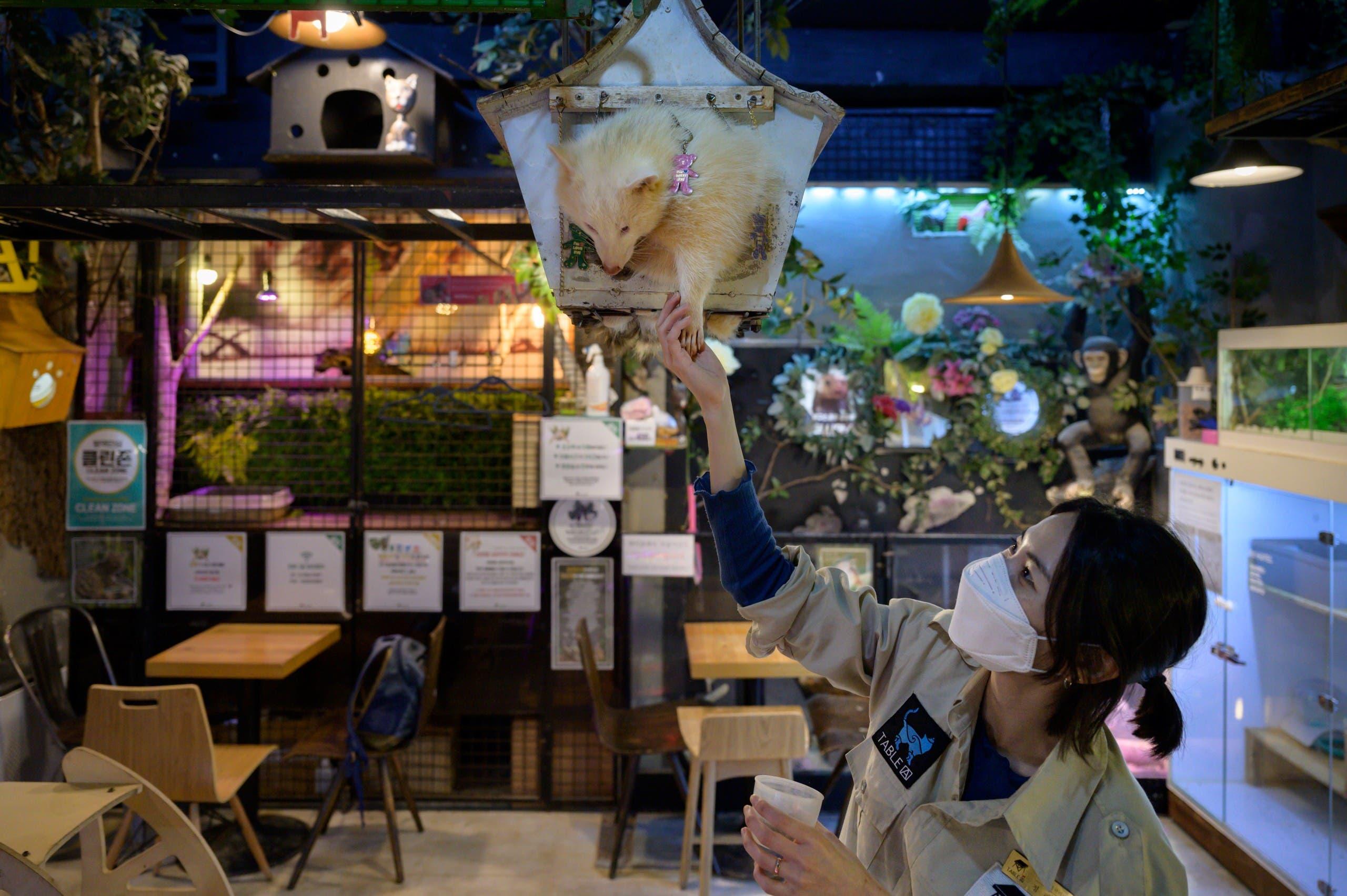 عاملة تداعب أحد الحيوانات البرية في مقى للحيوانات فارغ من الزبائن في كوريا