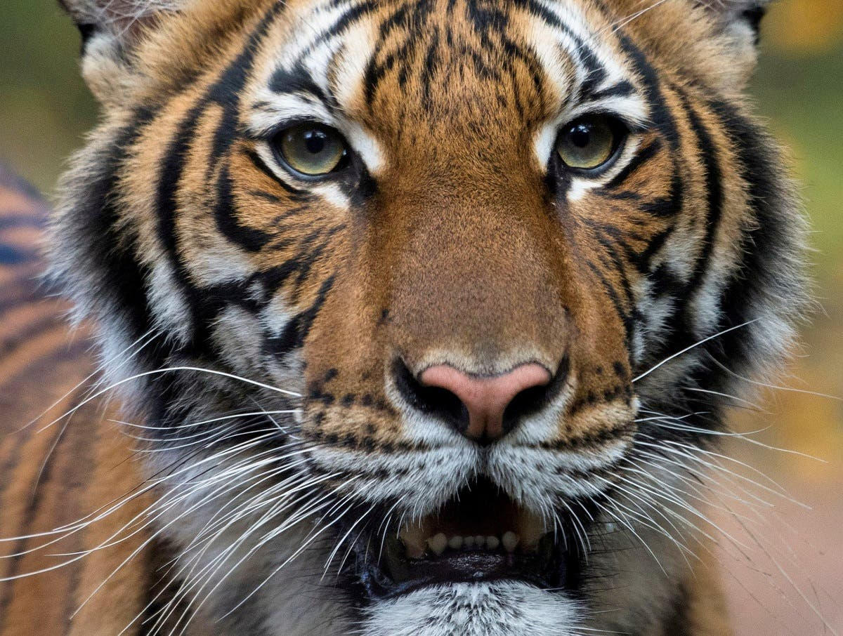 Nadia, a 4-year-old female Malayan tiger at the Bronx Zoo, that the zoo said on April 5, 2020 has tested positive for coronavirus disease (COVID-19) is seen in an undated handout photo. (Reuters)