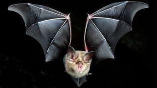 هكذا تسببت خفافيش حدوة الحصان في تفشي فيروس كورونا