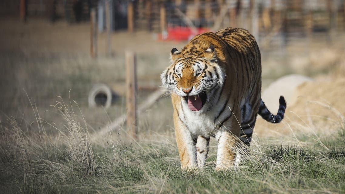 Tiger King - AFP