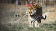 Siberian tiger kills zookeeper in front of visitors in Zurich