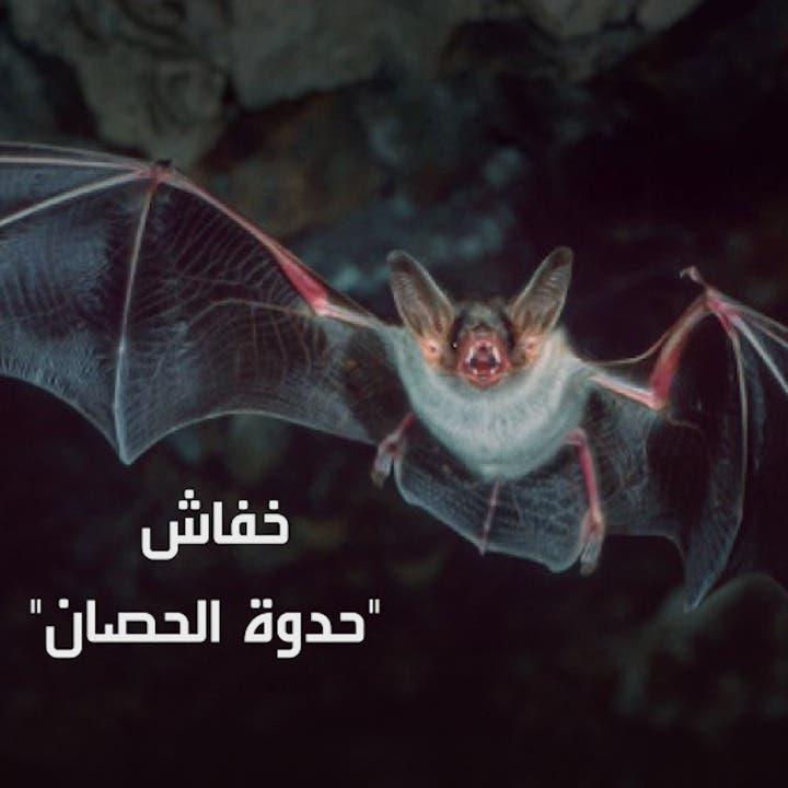 من فضلات هذا الخفاش جاء فيروس كورونا