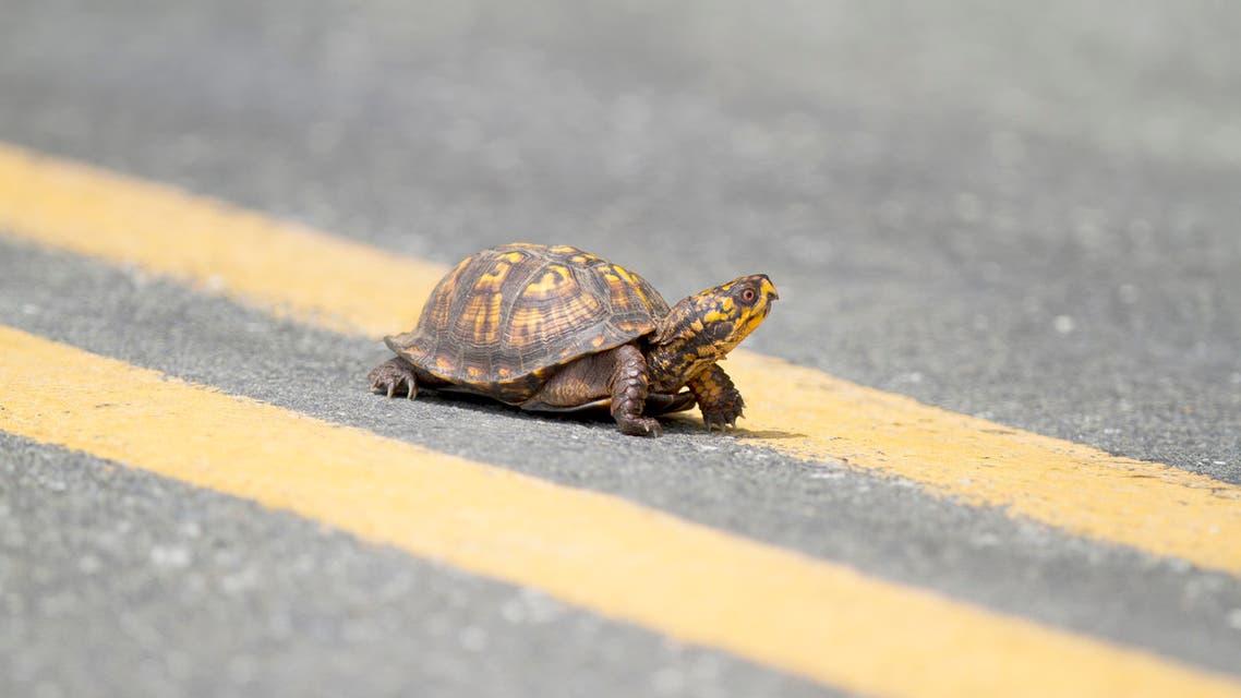 Box Turtle Crossing Road stock photo