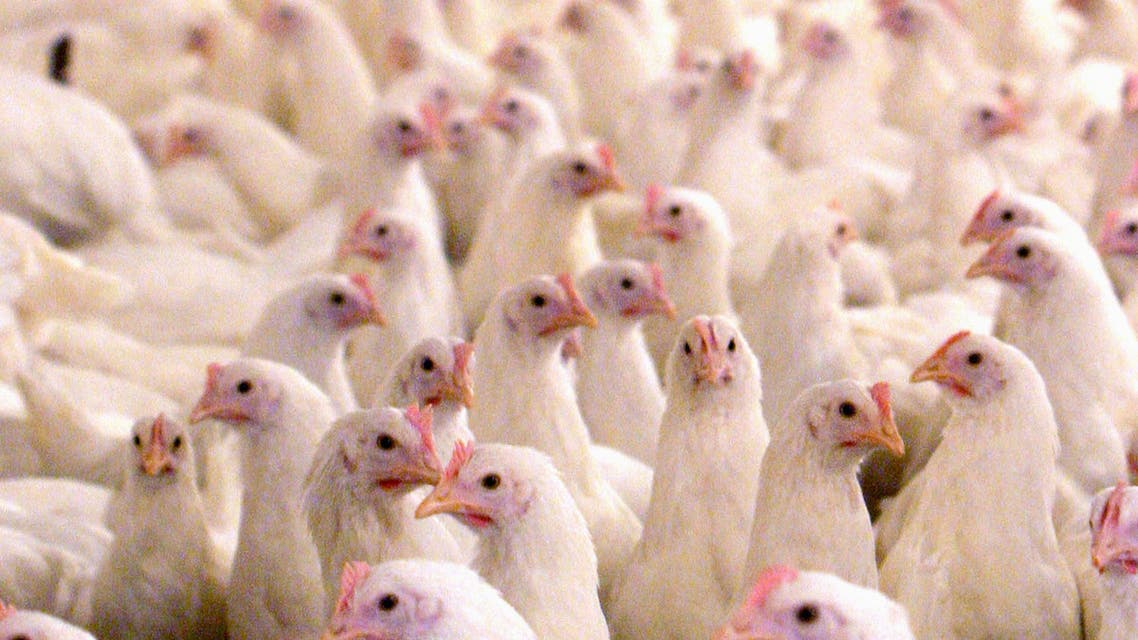 Chickens are seen at a poultry farm in Shahriar, southwest of Tehran. (File Photo: Reuters)