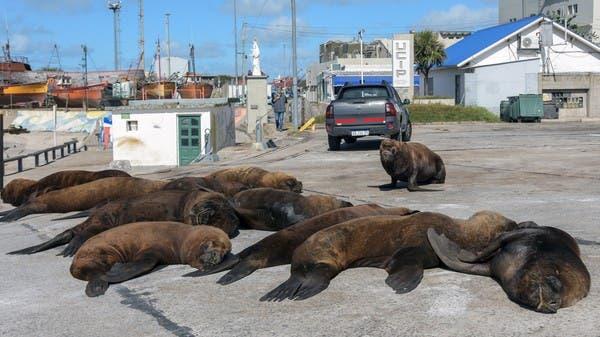 أسود البحر تتمدد في الأرجنتين.. على حساب كورونا