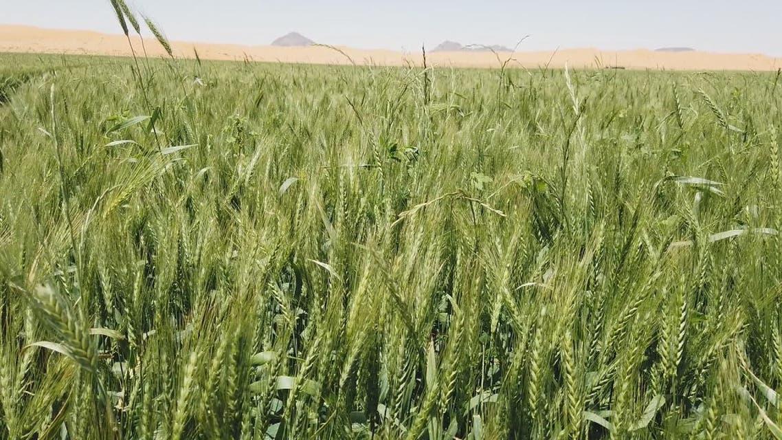 حائل تنتج ثلث الناتج المحلي من القمح في السعودية