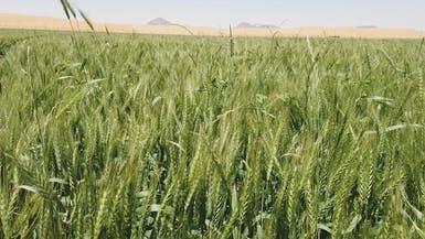 مصر تطرح مناقصة دولية لشراء كمية غير محددة من القمح