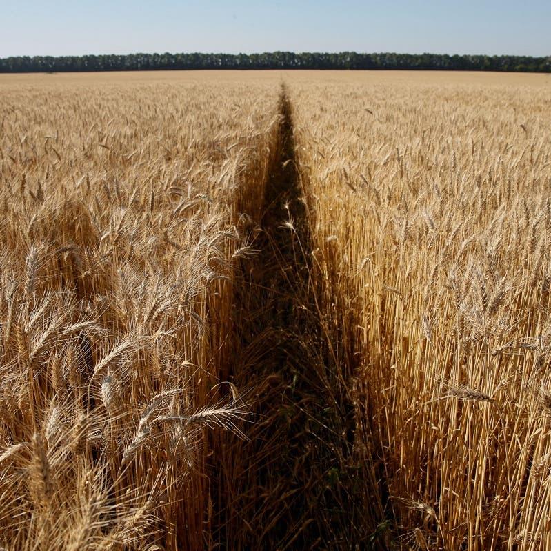 روسيا تدرس رفع ضريبة تصدير القمح عن 30 دولارا للطن