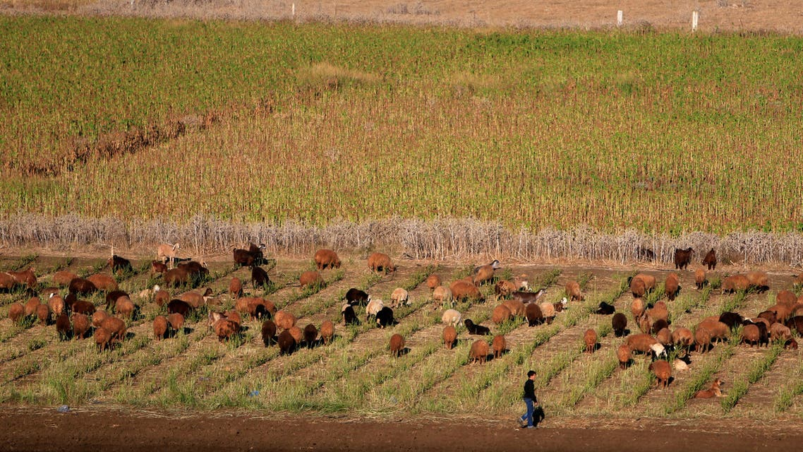 A boy walks near herding sheep in Khiam village, South Lebanon October 1, 2016. (Reuters)