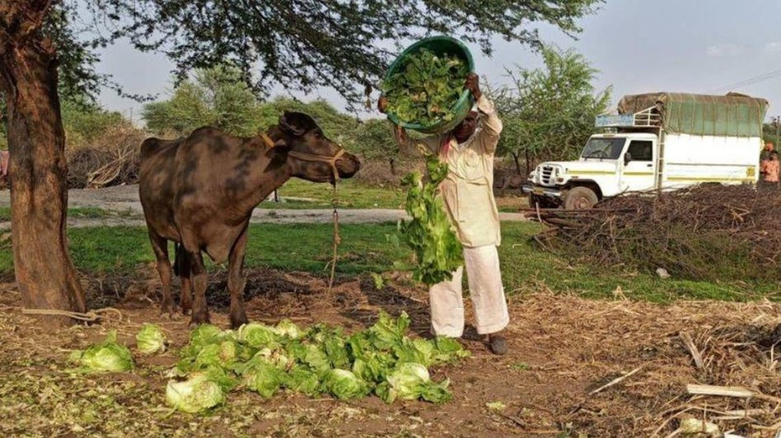 A farmer feeds lettuce to his buffalo during a 21-day nationwide lockdown to slow the spreading of coronavirus disease (COVID-19), at Bhuinj village in Satara district in Maharashtra, India, April 1, 2020. (Reuters)
