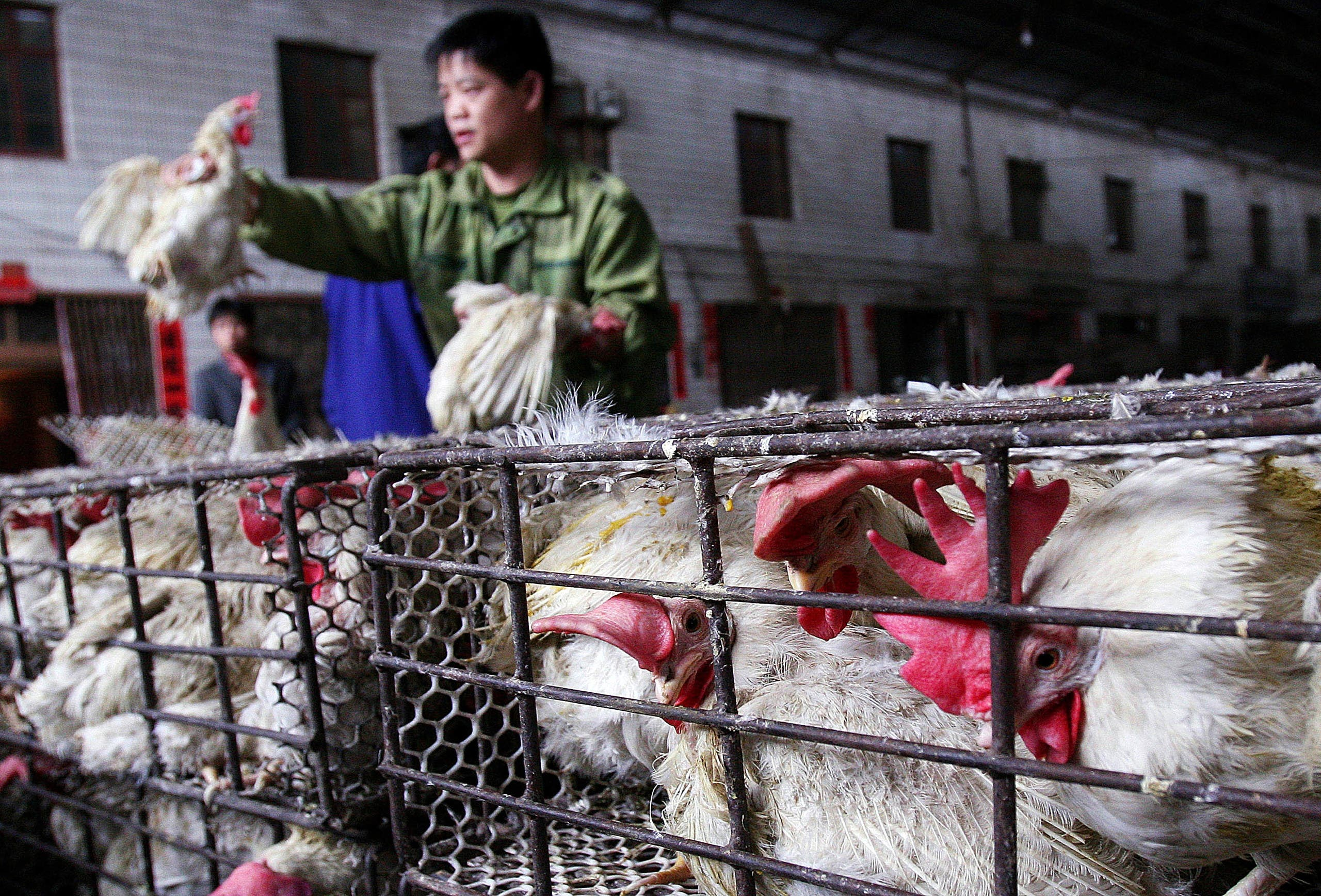 A Chinese vendor handling chickens at a poultry market in Wuhan, central China's Hubei province. (File photo: AP)