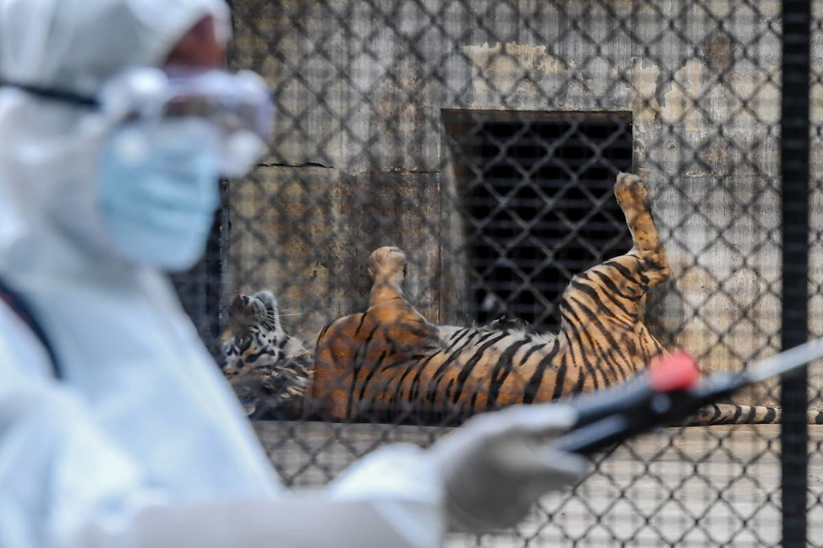 A worker (L) sprays disinfectant near the cages of tigers during a lockdown as a preventive measure against the coronavirus, at Alipore Zoological Garden in Kolkata on April 8, 2020. (AFP)