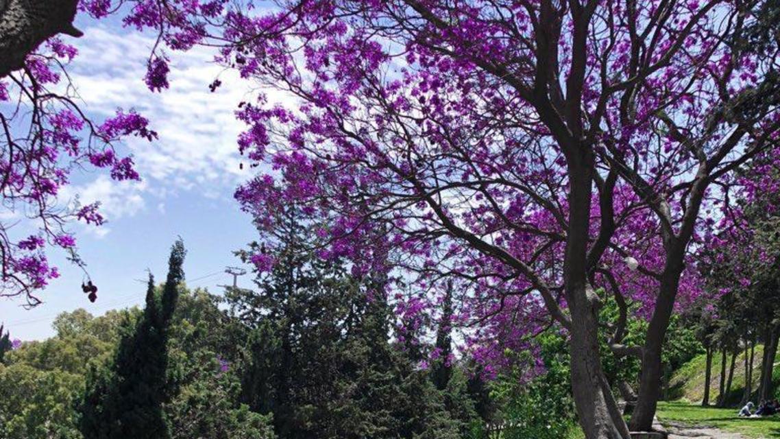 In Pictures Saudi Arabia S Abha Blooms Purple Al Arabiya English