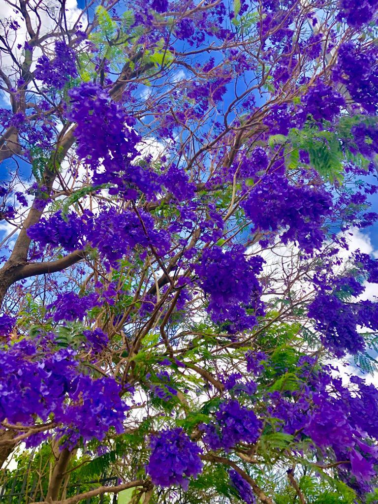 Jacaranda tree in bloom, Abha, Saudi Arabia. (Supplied)