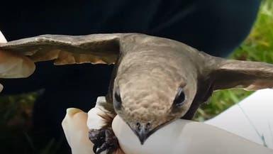 فيديو.. ما قصة طائر الأبابيل الذي عثر عليه بالجزائر؟