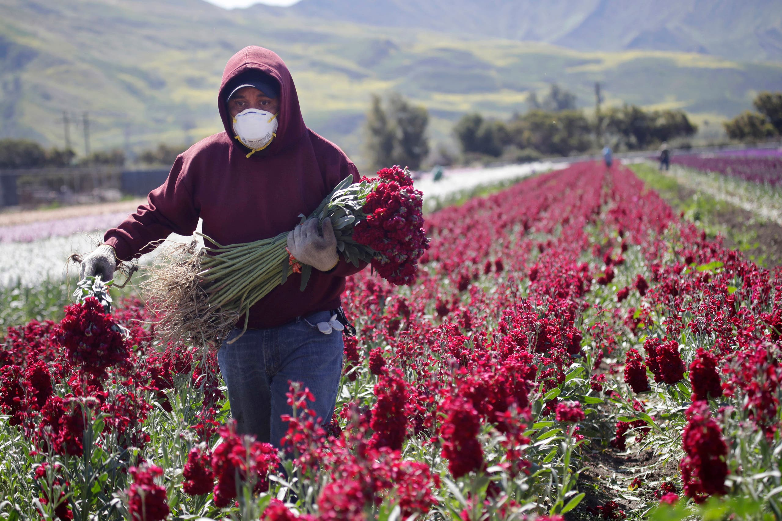 A farmworker, considered an essential worker under the current COVID-19 pandemic guidelines, wears a mask as he works at a flower farm Wednesday, April 15, 2020, in Santa Paula, California. (AP)