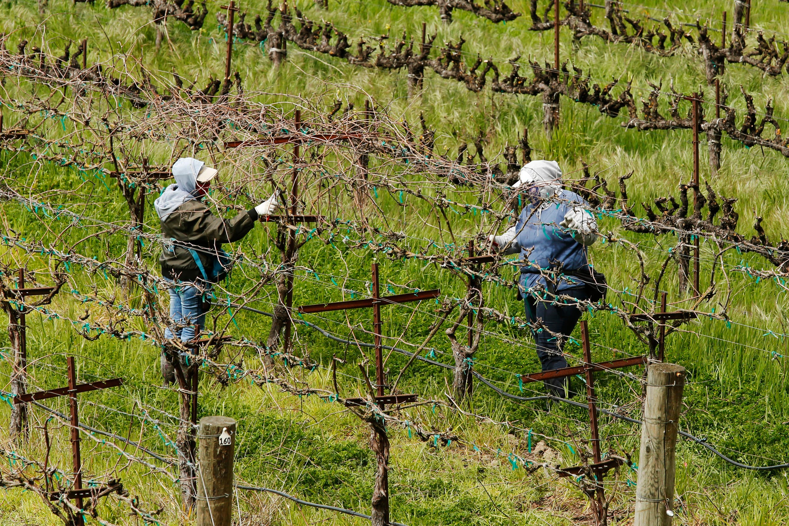 In this March 24, 2020, photo, farmworkers keep their distance from each others they work at the Heringer Estates Family Vineyards and Winery in Clarksburg, Calif. Farms continue to operate as essential businesses that supply food to California. (AP)