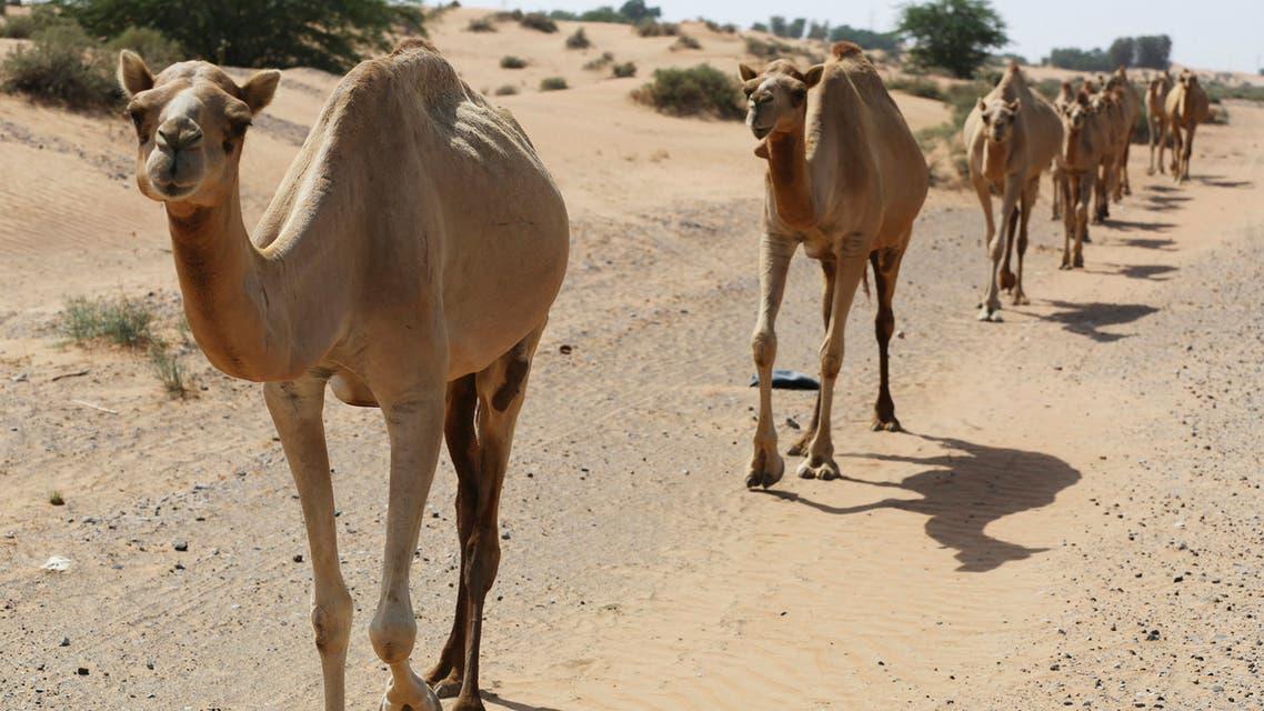 A herd of camel walk through the wild in Ras al-Khaimah, United Arab Emirates, on October 1, 2016. (AP)
