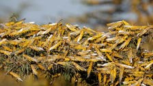 Iran may use military against locust invasion, says agricultural ministry