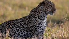 Leopards come down from hills  to Pakistan capital's park as coronavirus clears way