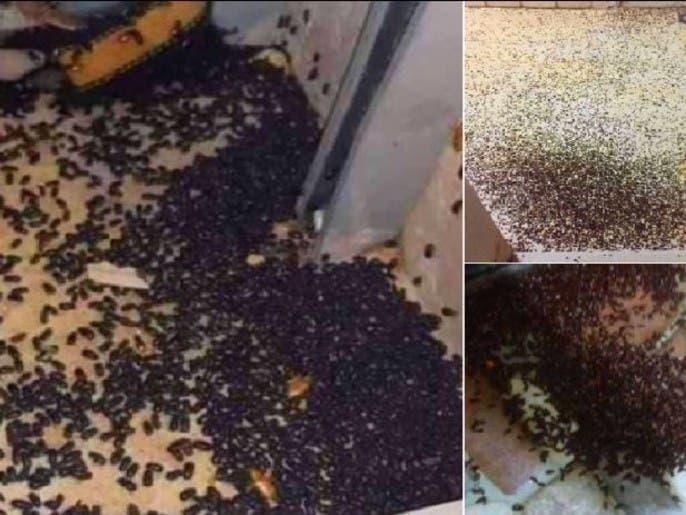 شاهد البق والخنافس والصراصير البرونزية وهي تجتاح لبنان
