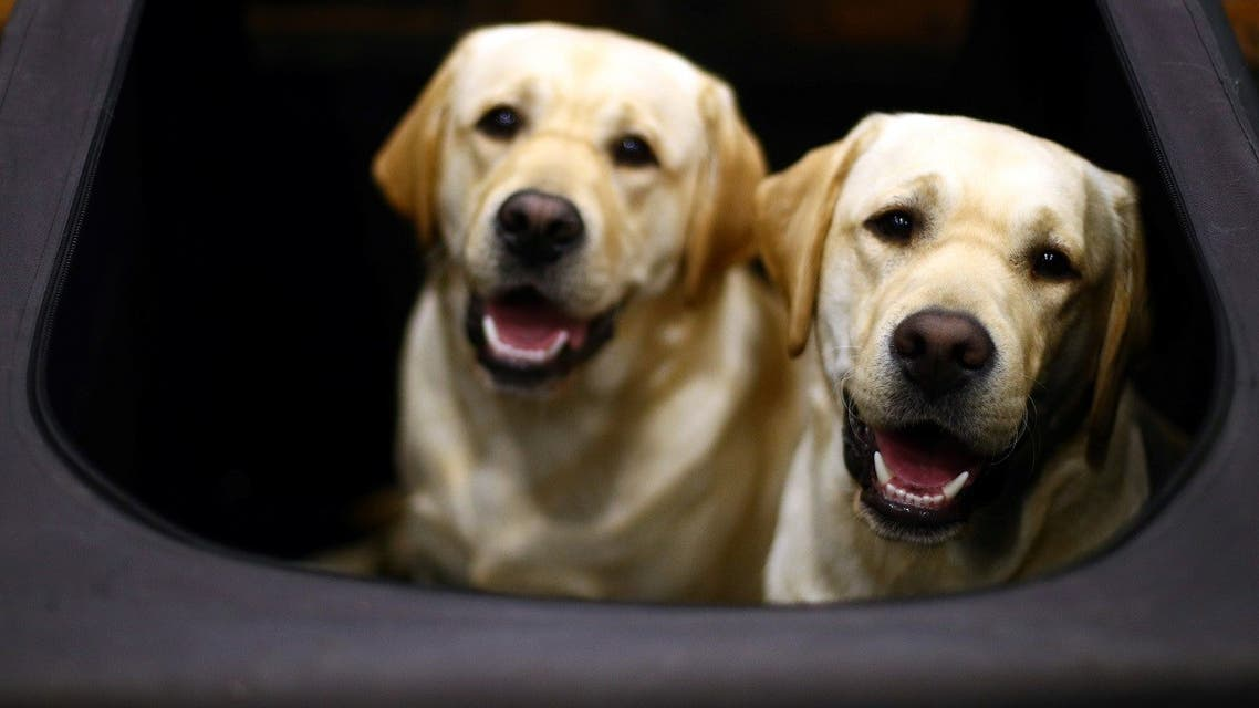 Labrador Retrievers look out from their pen during the first day of the Crufts Dog Show in Birmingham. (File photo: Reuters)