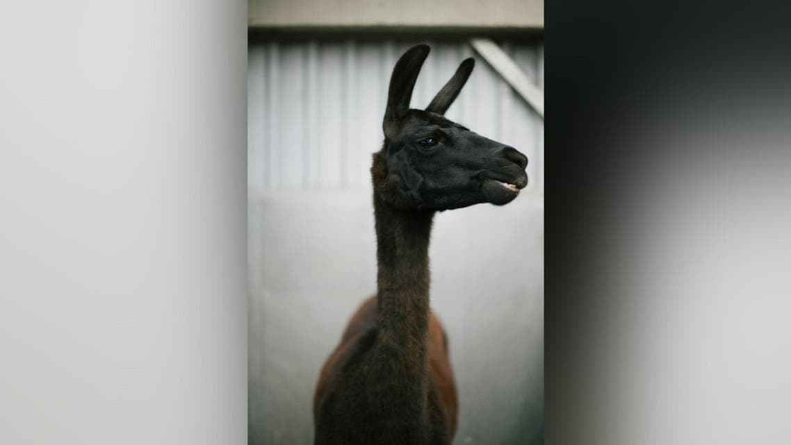 A llama named Winter is seen in this undated photo released by the VIB-UGent Center for Medical Biotechnology in Ghent, Belgium on May 5, 2020. (Handout via Reuters)