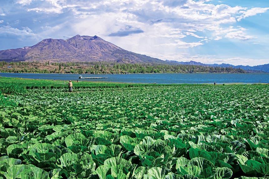حقل زراعة بالتربة البركانية الغنية بكل المعادن والعناصر اللازمة للنبات على سفوح بركان جبل باتور في إندونيسيا بجوار بحيرة كالديرا