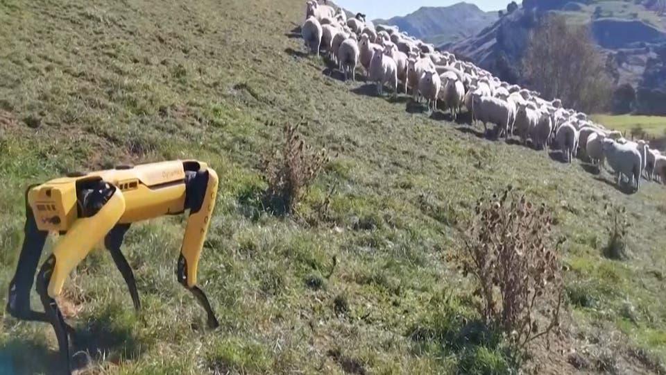 Coronavirus: Robodog 'Spot' herds sheep in New Zealand as humans stay home