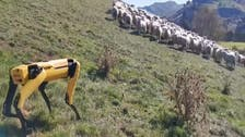 Coronavirus: Robodog 'Spot' herds sheep in New Zealand as humans stay home