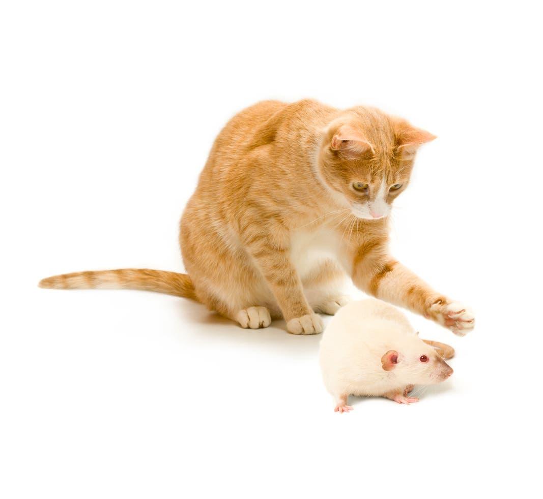 القط والفأر وعلاقة عدوانية لا تنتهي