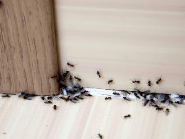 كيفية إبادة مستعمرات النمل التي تغزو منزلك بأمان