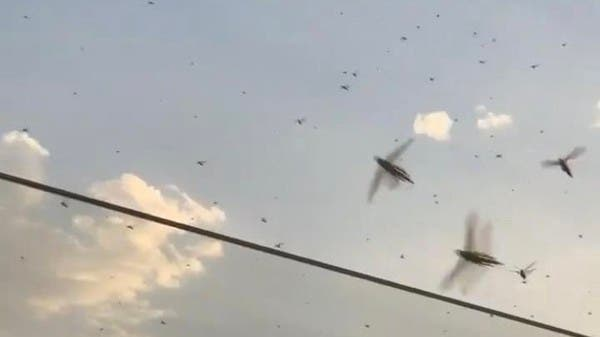 Swarms of locusts seen in Dubai, municipality says: Situation under control