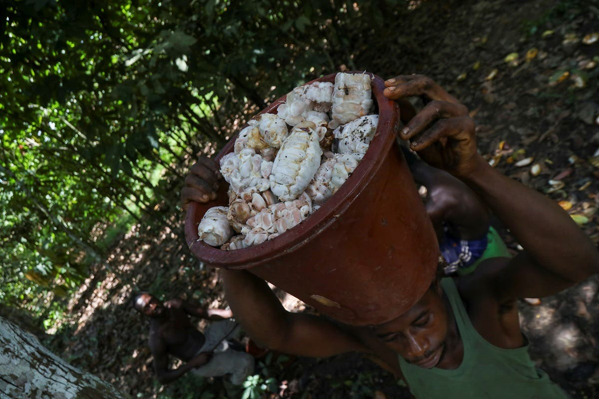 A farmer carries a bucket of cocoa beans at a cocoa farm in Azaguie, Ivory Coast, October 22, 2019. Picture taken October 22,2019. (Reuters)